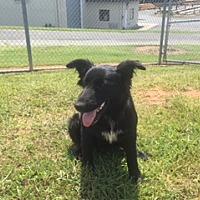 Adopt A Pet :: Shelley - Albemarle, NC