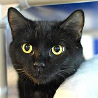 Adopt A Pet :: Baby Black - Annapolis, MD