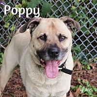 Adopt A Pet :: Poppy - Pleasantville, NJ