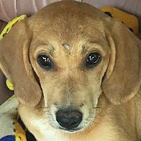 Adopt A Pet :: Misty - Monticello, GA