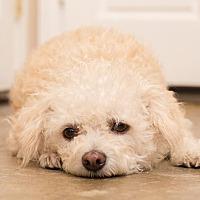 Adopt A Pet :: Chloe - Covina, CA