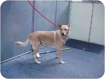 Shepherd (Unknown Type)/Labrador Retriever Mix Dog for adoption in Long Beach, New York - Lea