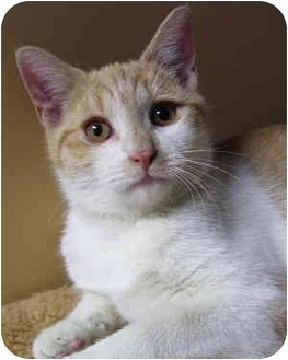 Domestic Shorthair Cat for adoption in Bloomingdale, New Jersey - Billy Joel