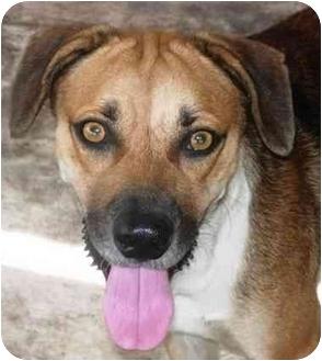 Beagle/Shepherd (Unknown Type) Mix Dog for adoption in Boca Raton, Florida - Tyson
