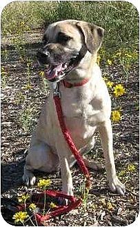 Anatolian Shepherd/Labrador Retriever Mix Dog for adoption in Golden Valley, Arizona - Daisy