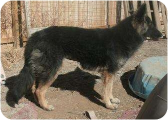 German Shepherd Dog Mix Dog for adoption in Las Cruces, New Mexico - Gretchen