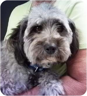 Schnauzer (Miniature)/Poodle (Miniature) Mix Dog for adoption in Nuevo, California - Grover