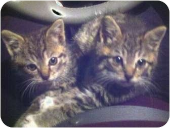 Domestic Shorthair Kitten for adoption in E. Claridon, Ohio - SPICE