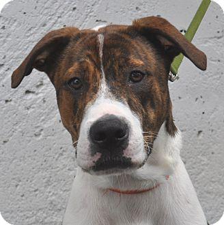 Plott Hound/Labrador Retriever Mix Dog for adoption in Atlanta, Georgia - Marcus