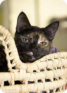Domestic Shorthair Cat for adoption in El Cajon, California - Beth