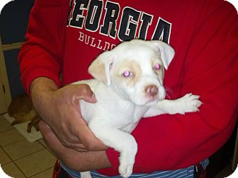 Bulldog Puppy for adoption in Cumming, Georgia - Bulldog puppy