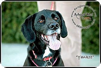 Beagle/Labrador Retriever Mix Dog for adoption in Waldorf, Maryland - Yankee