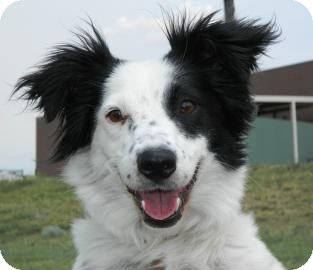 Border Collie Mix Dog for adoption in Cheyenne, Wyoming - Ms. America