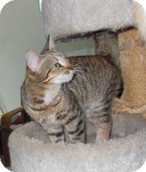 Domestic Shorthair Cat for adoption in Mission Viejo, California - Bitsy