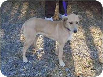 Labrador Retriever Mix Dog for adoption in Pennington Gap, Virginia - Sammy