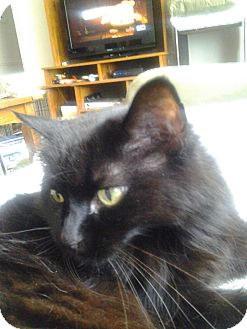 Domestic Mediumhair Cat for adoption in Warren, Michigan - Mitsy