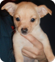 Chihuahua Mix Puppy for adoption in Bellingham, Washington - Chip