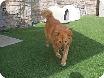 Golden Retriever/Chow Chow Mix Dog for adoption in white settlment, Texas - Tabitha