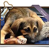 Adopt A Pet :: Brooke - Portland, OR