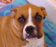 Boxer Dog for adoption in Columbia, South Carolina - Tyson