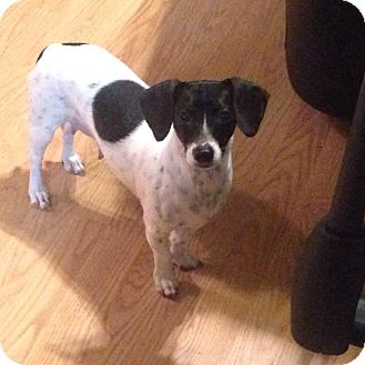 Dachshund/Jack Russell Terrier Mix Dog for adoption in Green Cove Springs, Florida - Dixie