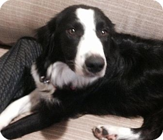 Border Collie Mix Dog for adoption in LaGrange, Kentucky - BORDER COLLIE