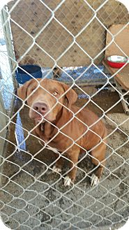 Labrador Retriever/Hound (Unknown Type) Mix Dog for adoption in Gustine, California - ROSCOE