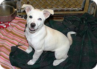 Labrador Retriever/Husky Mix Puppy for adoption in Kalamazoo, Michigan - Popcorn