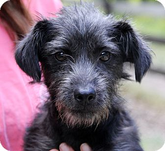 Poodle (Miniature)/Schnauzer (Miniature) Mix Dog for adoption in Minnetonka, Minnesota - JAKE- adorable Schnoodle