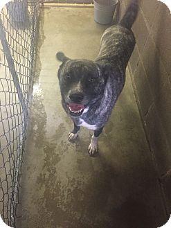 Akita/Belgian Shepherd Mix Dog for adoption in Albertville, Alabama - Sasha