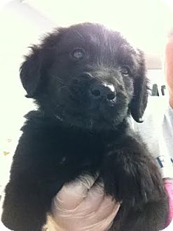 German Shepherd Dog/Flat-Coated Retriever Mix Puppy for adoption in Darlington, South Carolina - Edison