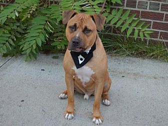 Pit Bull Terrier Mix Dog for adoption in New York, New York - Jimmy K