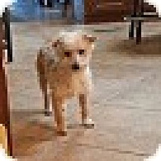 Poodle (Miniature)/Terrier (Unknown Type, Small) Mix Dog for adoption in Spring Valley, New York - Sugar (Bonded Pair)