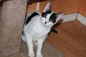Domestic Shorthair Kitten for adoption in Mesa, Arizona - Fancy