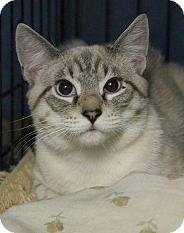 Siamese Cat for adoption in Yukon, Oklahoma - Moon Dance