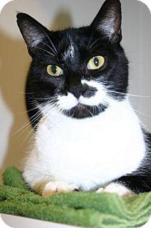 Domestic Shorthair Cat for adoption in Olympia, Washington - 41069