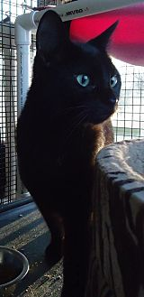 Domestic Shorthair Cat for adoption in Speedway, Indiana - Clark
