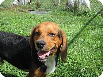 Beagle Mix Dog for adoption in Liberty Center, Ohio - Auggie