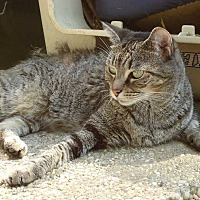 Domestic Shorthair Cat for adoption in Central Islip, New York - Petra