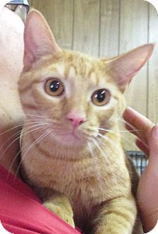 Domestic Shorthair Cat for adoption in Reeds Spring, Missouri - Brent