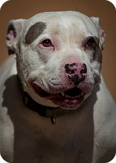 Pit Bull Terrier Dog for adoption in Westminster, California - Delilah