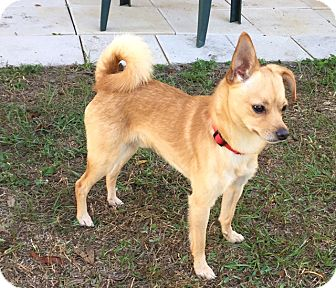 Chihuahua Mix Dog for adoption in Floral City, Florida - Stephen