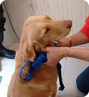Golden Retriever Dog for adoption in New Canaan, Connecticut - Stacey