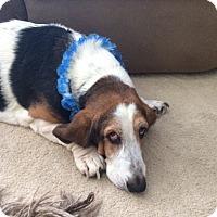 Basset Hound Dog for adoption in Columbia, South Carolina - Marshmallow