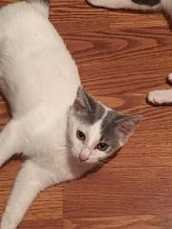 Domestic Shorthair Cat for adoption in Crown Point, Indiana - Angel Ears