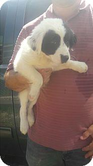 Border Collie/Labrador Retriever Mix Puppy for adoption in Staunton, Virginia - Bea