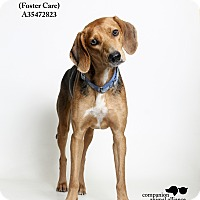 Adopt A Pet :: Elliott  (Foster Care) - Baton Rouge, LA
