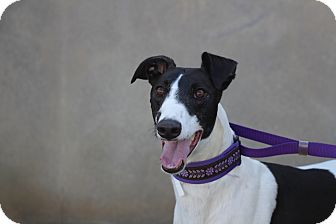 Greyhound Dog for adoption in Ashland City, Tennessee - Deegan
