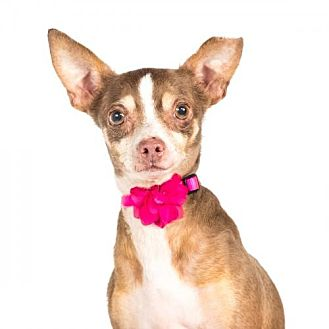 Chihuahua Dog for adoption in St. Louis Park, Minnesota - Aida