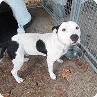 Pit Bull Terrier Mix Dog for adoption in Clarksville, Arkansas - Major